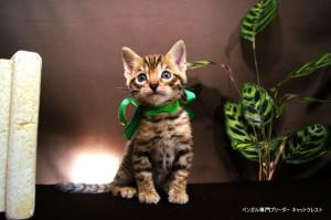 ベンガル子猫67番みどり2