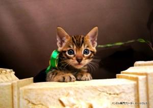ベンガル子猫67番みどり3