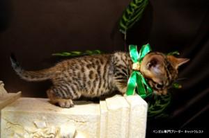 ベンガル子猫67番みどり4