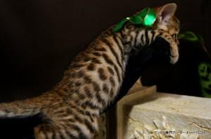 ベンガル子猫67番みどり5