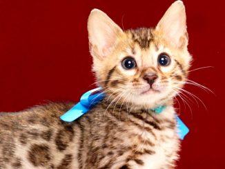 ベンガルの子猫2017年11月19日生まれ440番あおくん