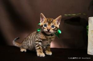 ベンガル子猫67番みどり1