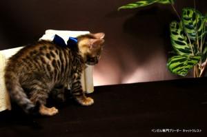 ベンガル子猫66番あお9
