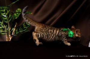 ベンガル子猫67番みどり7