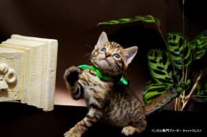 ベンガル子猫67番みどり8