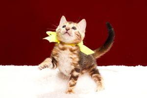 ベンガルの子猫2017年11月19日生まれ 438番きいろちゃん