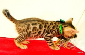 ベンガルの子猫172番グリーン君