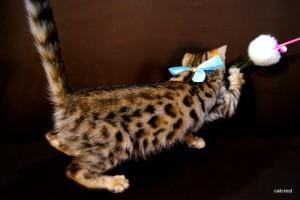 ベンガルの子猫cs4みずいろ君
