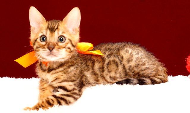 ベンガルの子猫2017年12月7日生まれ 447番オレンジちゃん