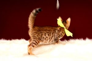 ベンガルの子猫 2017年3月3日生まれ 326番イエロー君