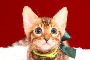 ベンガルの子猫2017年12月21日生まれ 448番みどり君