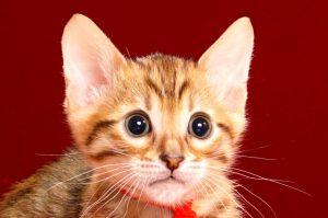 ベンガルの子猫2017年12月21日生まれ 454番レッド君