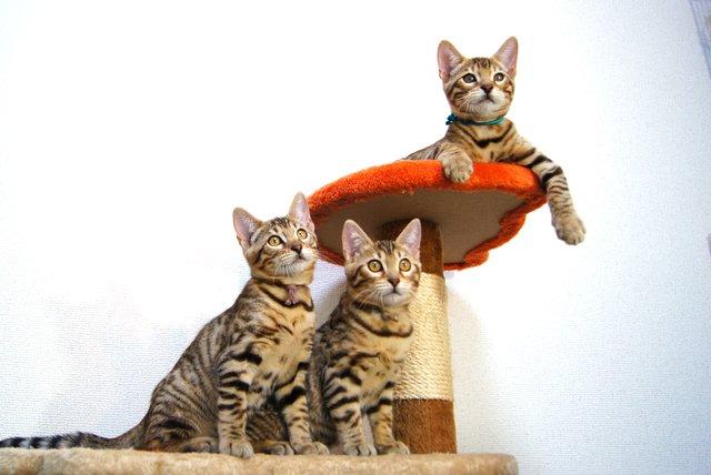 ベンガル 3匹の子猫