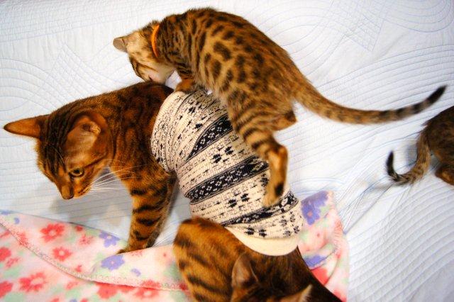 ベンガル ママと子猫