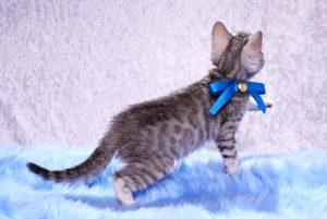 ベンガルの子猫2017年12月23日生まれ 457番ブルー君