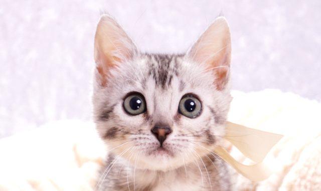 ベンガルの子猫ベンガルの子猫2017年12月23日生まれ 456番ホワイトちゃん