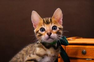 ベンガルの子猫107番グリーン君