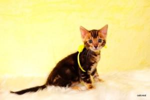 ベンガルの子猫2015年12月22日生まれ 193番イエロー君