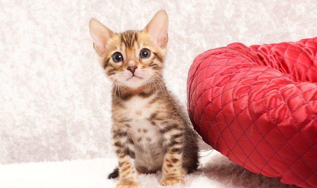 ベンガルの子猫2018年1月10日生まれ 461番オレンジ君