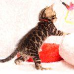 ベンガルの子猫2018年1月10日生まれ 460番レッド君