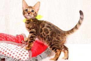 ベンガルの子猫2017年12月21日生まれ 449番きいろ君
