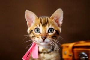 ベンガルの子猫108番ピンクちゃん