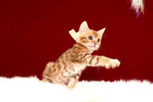 ベンガルの子猫 2017年3月27日生まれ 334番ホワイト君