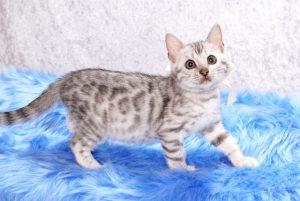 ベンガルの子猫 2017年6月7日生まれ 382番ホワイトちゃん