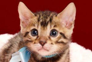 ベンガルの子猫2018年2月3日生まれ 470番みずいろ君