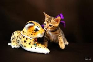 ベンガル子猫112番むらさきちゃん