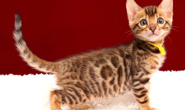 ベンガルの子猫2018年2月3日生まれ 469番きいろ君
