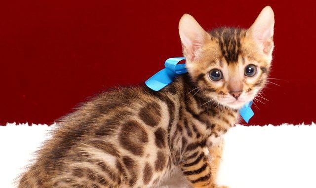 ベンガルの子猫2018年2月3日生まれ 468番あお君