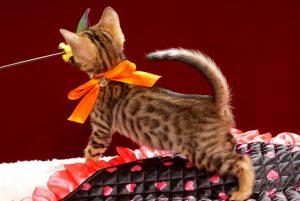 ベンガルの子猫2018年2月5日生 466番オレンジ