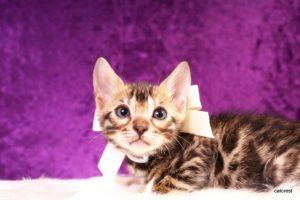 ベンガルの子猫2016年8月28日生まれ 257番シロちゃん