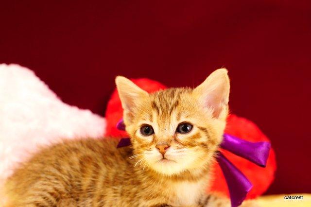 ベンガルの子猫2016年2月19日生まれ 213番パープルちゃん