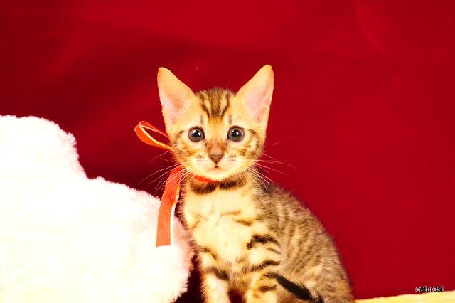 ベンガルの子猫2月13日生まれ 210番レッドちゃん