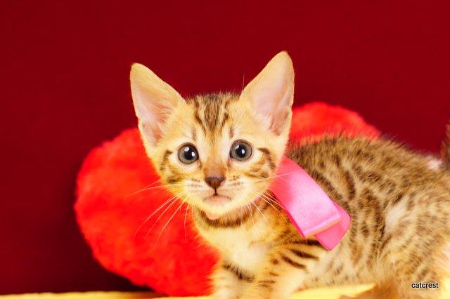 ベンガルの子猫2月13日生まれ 211番ピンクちゃん