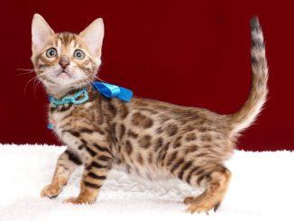 ベンガルの子猫2018年2月15日生 482番ブルー
