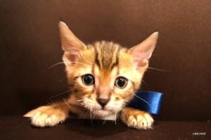 ベンガル子猫117番ブルー君