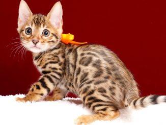 ベンガルの子猫2018年2月15日生 481番オレンジ