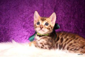 ベンガルの子猫2016年8月28日生まれ 259番ミドリくん