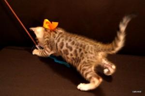 ベンガル子猫115番オレンジ君