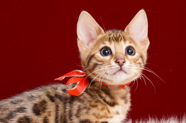 ベンガルの子猫2018年2月16日生 486番あか
