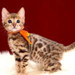 ベンガルの子猫2018年2月16日生 485番おれんじ