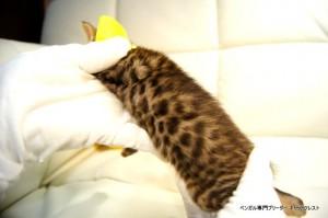 ベンガル子猫81番イエロー6