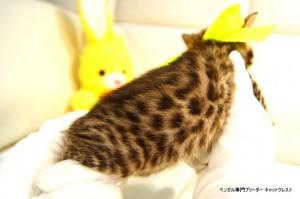 ベンガル子猫81番イエロー5