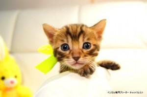 ベンガル子猫81番イエロー4