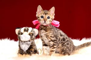 ベンガルの子猫2018年2月16日生 484番ぴんく