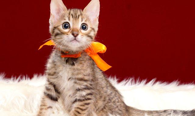 ベンガルの子猫2018年3月5日生 490番おれんじ