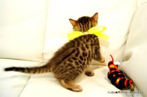 ベンガル子猫81番イエロー3